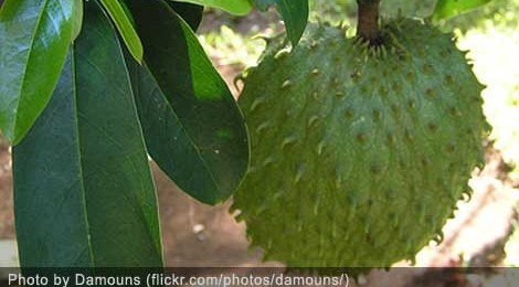 Graviola (Sour Sop) fruit, locally known as Guyabano or Babana